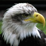 bald-eagle-wallpaper(1)