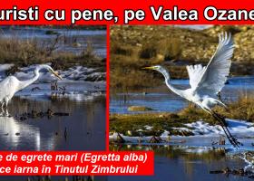O familie de egrete mari (Egretta alba) își petrece iarna în Ținutul Zimbrului