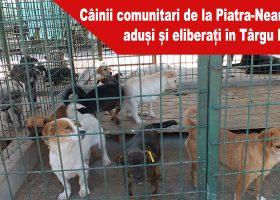 Câinii comunitari de la Piatra-Neamț sunt aduși și eliberați în Târgu Neamț?